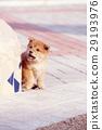 可愛的小狗 29193976