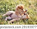 可愛的小狗 29193977