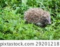 animal grass hedgehog 29201218