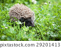 young hedgehog walking in backyard 29201413