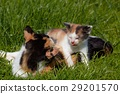 two cats playing outdoor 29201570