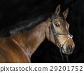 Oldenburg Horse head 29201752