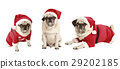 three pugs as Santa Claus 29202185