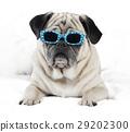 Pug with sunglasses 29202300