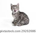 animal cat kitty 29202686