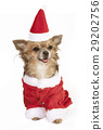 chihuahua with stocking cap 29202756