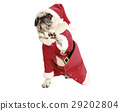 pug in santa coat raises his paw 29202804
