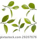 Camelia leafs 29207676