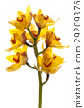 Fresh bright yellow orchid 29209376