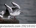 红嘴鸥 海鸥 鸥 29210102
