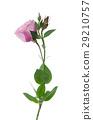 Beautiful pink flower 29210757