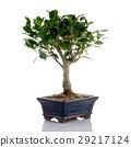 Chinese green bonsai tree 29217124