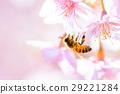 蜜蜂 櫻花 櫻 29221284