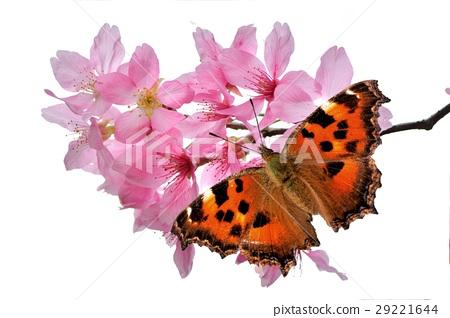 緋蛺蝶 (Nymphalis xanthomelas formosana) 29221644