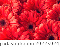 group od red gerberas, macro photography and flowe 29225924