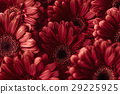 group od red gerberas, macro photography and flowe 29225925