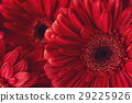 group od red gerberas, macro photography and flowe 29225926