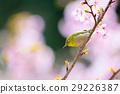 ดอกซากุระบาน,ซากุระบาน,ดอกไม้ 29226387