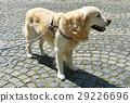 Golden retriever dog on the street 29226696