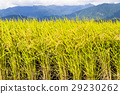 paddy, rice, plant 29230262