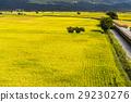 paddy, rice, plant 29230276