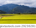 paddy, rice, plant 29230281