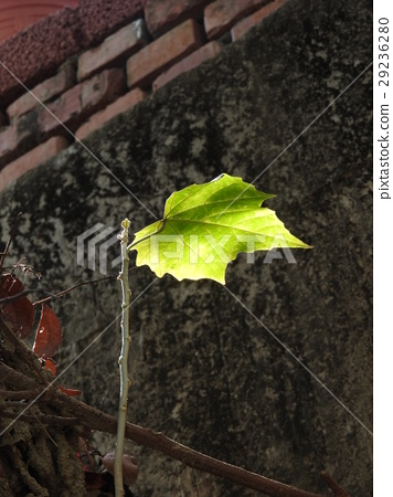 樹葉 透光 29236280