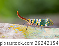 Image of Pyrops candelaria or lantern Fly. 29242154
