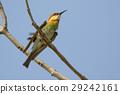 bird bee-eater birds 29242161