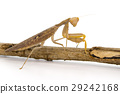 Image of brown mantis on white background. Insect. 29242168
