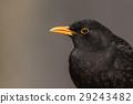 avian bird blackbird 29243482