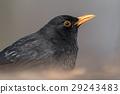 avian bird blackbird 29243483