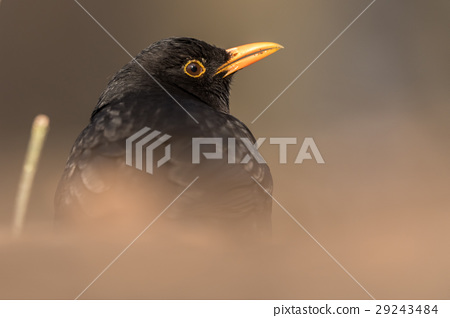 Portrait of the Common blackbird (Turdus merula). 29243484