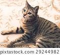 cat, pussy, relaxen 29244982