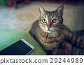 cat, pussy, smartphone 29244989