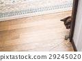 cat, pussy, frolic 29245020