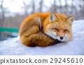 狐狸 雪景 取暖 29245610