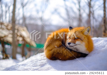 藏王雪中狐 29245611