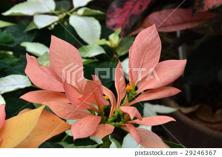 Tree: Poinsettia Euphorbiaceae 29246367
