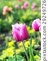 Pink tulips with bumblebee in garden, springtime 29249726