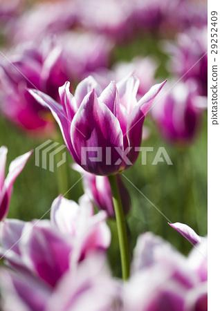 Beautiful close up macro tulip 29252409