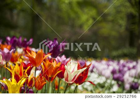 Garden, flower background, tulips 29252766