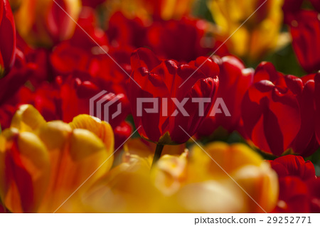 Spring tulips in the garden, spring blossom 29252771