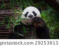 Panda 29253613