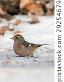 Chaffinch (Fringilla coelebs) in winter time. 29254679