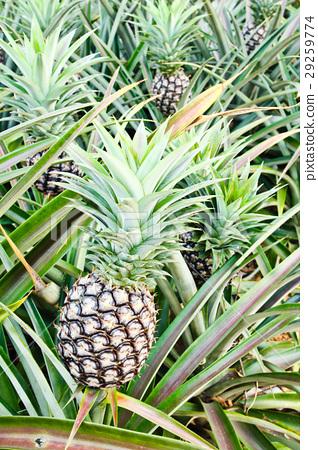 Pineapple plant 29259774