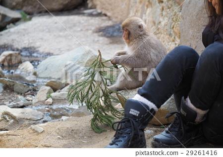 A monkey in Jigokudani hot spring 29261416