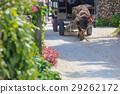 竹富島 水牛 哺乳動物 29262172