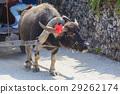 竹富島 水牛 哺乳動物 29262174