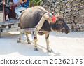 竹富島 水牛 哺乳動物 29262175